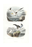 Northern Gannet  Ivory Gull and European Herring Gull