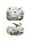 Northern Gannet  Ivory Gull and European Herring Gull