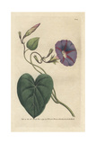 Purple Bindweed  Ipomoea Purpurea