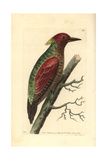 Crimson Winged Woodpecker  Picus Puniceus