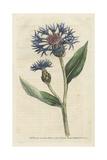 Greater Blue Bottle or Perennial Cornflower  Centaurea Montana