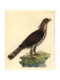 Ornate Hawk-Eagle from Shaw and Nodder's Naturalist's Miscellan