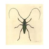 Lady Capricorn Beetle  Callichroma Virens