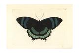 Alcides Orontes Moth