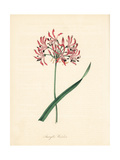 Waved-Flowered Amaryllis  Nerine Undulata