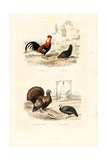 Chickens  Wild Turkey and Guineafowl