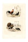 Chickens  Wild Turkey and Guineafowl
