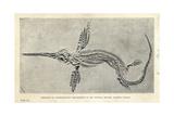 Leptonectes Tenuirostris Skeleton