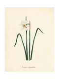 Narrow-Leaved Narcissus  Narcissus Angustifolius