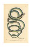 Lora or Parrot Snake  Leptophis Ahaetulla