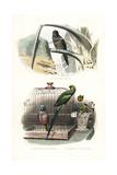 Monk Parakeet  Red-Breasted Parakeet and Rose-Ringed Parakeet