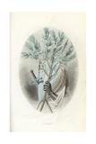 Emblematic Illustration of the Laurel  Laurus Nobilis