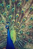 Royally Blue I