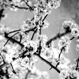 Black and White Blossoms I