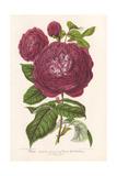 Reine Des Violettes  Purple Hybrid Rose