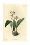 Bifrenaria Racemosa Orchid
