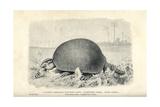 Giant Armadillo  Glyptodon Asper