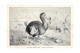 Dodo  Raphus Cucullatus