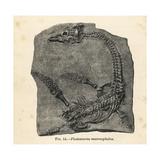 Plesiosaurus Macrocephalus Fossil Skeleton