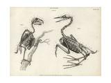 Anatomy of Birds: Skeleton