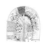 Nerve Cells  1894