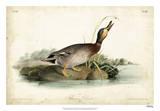 Audubon Ducks V