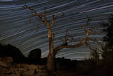 A Dead Pinyon Pine Tree and Star Trails  Joshua Tree National Park  California