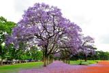 Jacaranda Tree (Jacaranda Mimosifolia)  Buenos Aires City  Argentina  South America