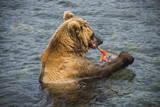 Kamchatka Brown Bear (Ursus Arctos Beringianus) Eating Salmon