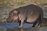 Hippopotamus (Hippopotamus Amphibius) in Shallow Water