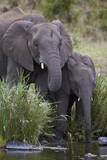 African Elephant (Loxodonta Africana) Drinking  Kruger National Park  South Africa  Africa