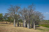 Baobab Trees in Kununurra  Kimberleys  Western Australia  Australia  Pacific