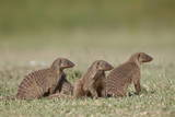 Banded Mongoose (Mungos Mungo)  Serengeti National Park  Tanzania  East Africa  Africa