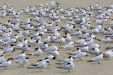 Terns on Capitola Beach  Capitola City  Santa Cruz County  California  United States of America