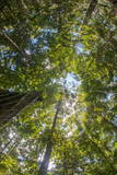 Liana and Vine Shrouded Dipterocarp Tree in Primary Rainforest in the Maliau Basin