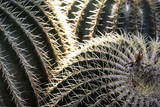Cactus in the Garden of the Villa Majorelle  Marrakech  Morocco  North Africa  Africa