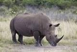 White Rhinoceros (Ceratotherium Simum)  Hluhluwe Game Reserve  South Africa  Africa