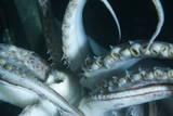 Buccal Cavity (Mouth) and Tentacles of Humboldt (Jumbo) Squid (Dosidicus Gigas)