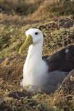 Waved Albatross (Phoebastria Irrorata)  Hispanola Island  Galapagos  Ecuador  South America