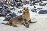 Galapagos Sea Lion Pup (Zalophus Californianus Wollebaeki)