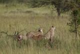 Three Cheetah (Acinonyx Jubatus)  Serengeti National Park  Tanzania  East Africa  Africa