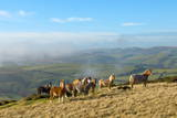 Welsh Ponies  Eppynt  Cambrian Mountains  Powys  Wales  United Kingdom  Europe
