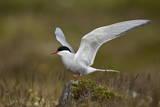Arctic Tern (Sterna Paradisaea) Spreading its Wings  Iceland  Polar Regions