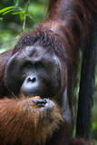 Mature Male Orangutan at Semenggoh Orangutan Rehabilitation Centre