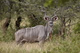 Greater Kudu (Tragelaphus Strepsiceros) Buck  Imfolozi Game Reserve  South Africa  Africa