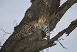 Leopard (Panthera Pardus)  Serengeti National Park  Tanzania  East Africa  Africa