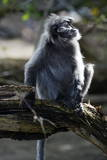 Silvered Leaf Monkey (Trachypithecus Cristatus Cristatus)
