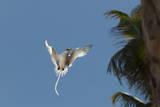 White-Tailed Tropicbird (Phaethon Lepturus)  Fregate Island  Seychelles  Indian Ocean  Africa