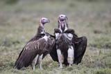 Lappet-Faced Vulture (Torgos Tracheliotus) Pair