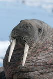 Walrus (Odobenus Rosmarinus) Close-Up of Face  Tusks and Vibrissae (Whiskers)  Hauled Out
